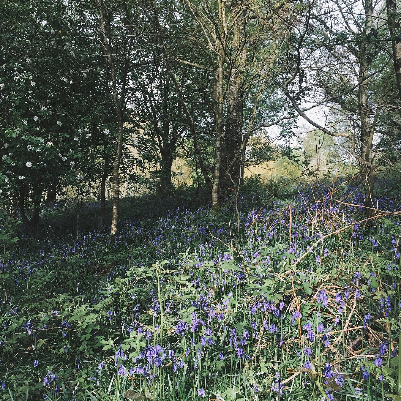 Bluebells in a forest, bathed in a shaft of sunlight.