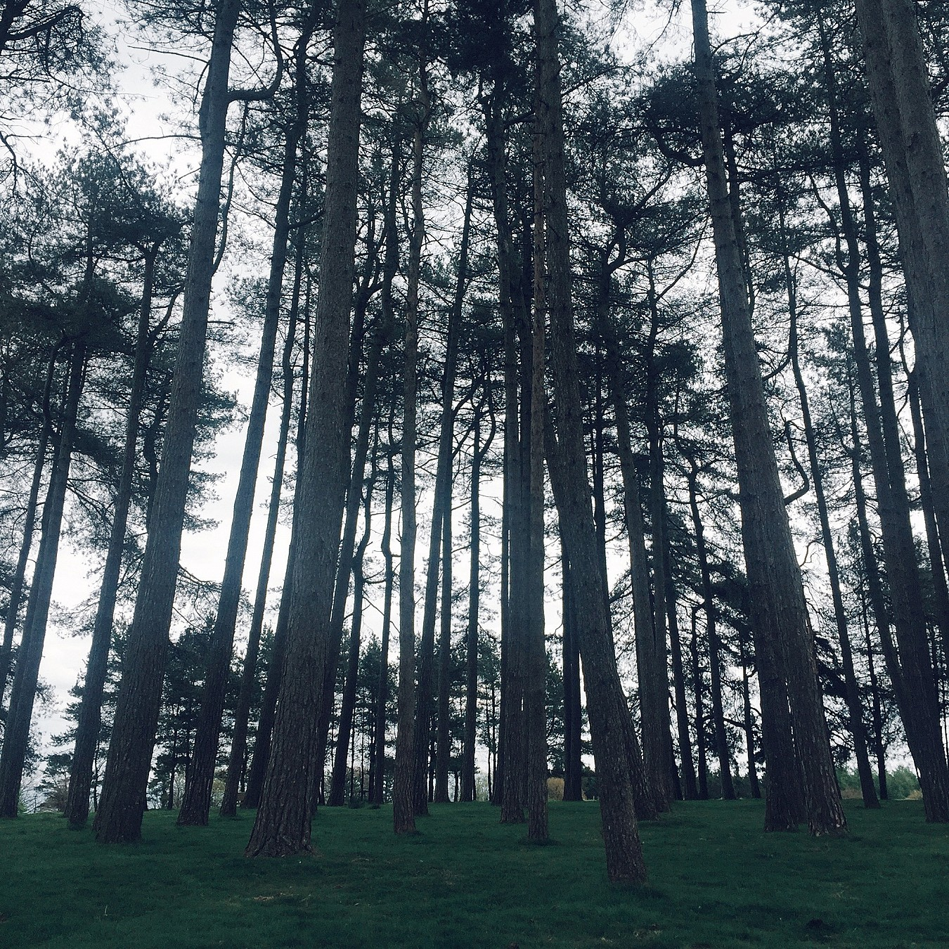 A group of tall pine trees.